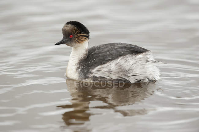 Silvery grebe swimming in water with reflection — Foto stock