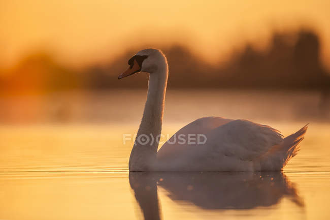 Swan swimming at sunset with orange sky reflected on the tranquil water — стоковое фото