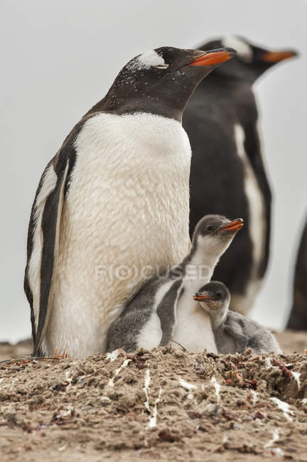 Gentoo Penguins (Pygoscelis papua); The Neck, Falkland Islands — стокове фото