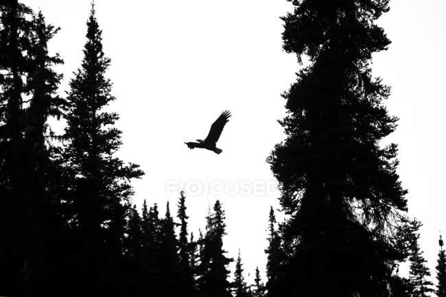 Силует лисий орел, що літає через вершини дерев; Atlin, Британська Колумбія, Канада — стокове фото