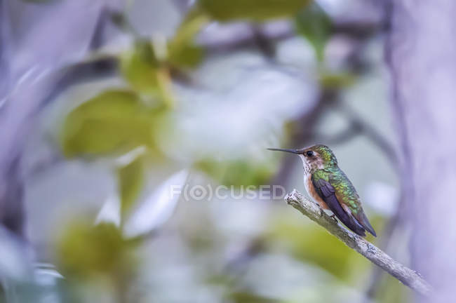 Hummingbird with colourful plumage perched on a branch — Photo de stock