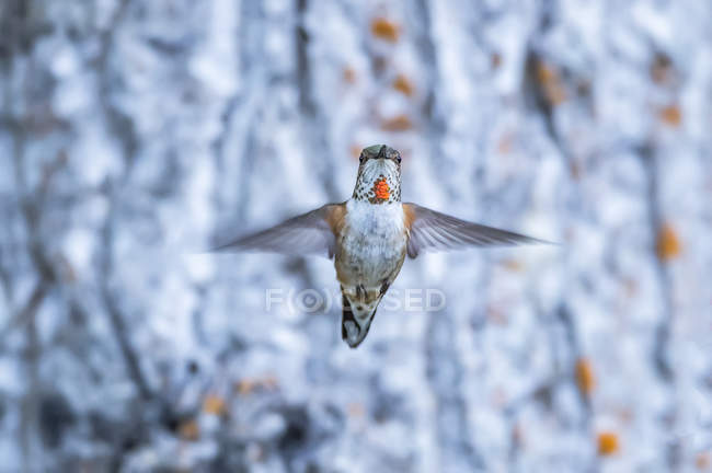 Rufous hummingbird flying in mid-air, closeup — стоковое фото