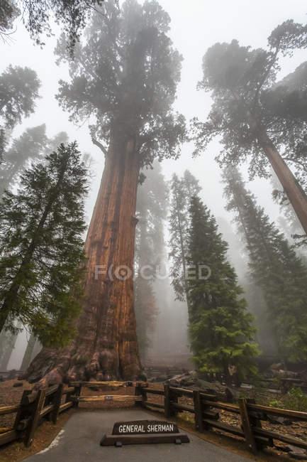 Général Sherman, plus grand arbre du monde, Sequoia National Park ; Visalia, Californie (États-Unis d'Amérique) — Photo de stock
