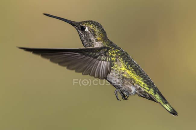 Колибри в полете против размытый фон — стоковое фото