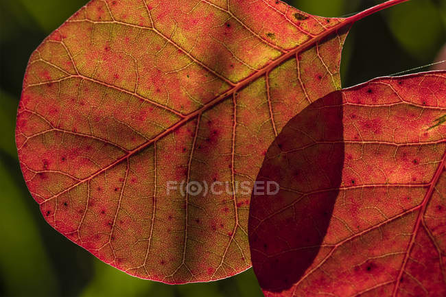 Smoketree leaves glowing with sunlight; Astoria, Oregon, United States of America — Stock Photo