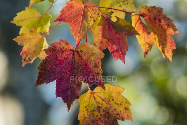 Maple leaves in autumn colours; Astoria, Oregon, United States of America — Stock Photo