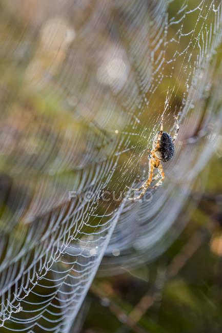 Une araignée de jardin européenne (Araneus diadematus) tend vers une toile ; Astoria, Oregon, États-Unis d'Amérique — Photo de stock