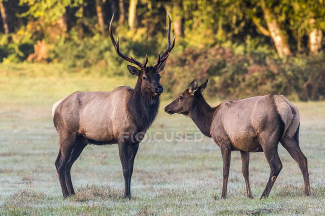 Scenic view of majestic beautiful elks in wild nature — Stock Photo