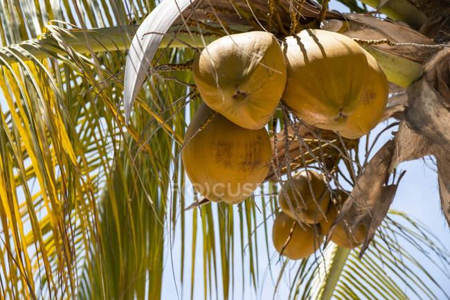 Cocos que crecen en un cocotero (Cocos nucifera); Huatulco, Oaxaca, México - foto de stock