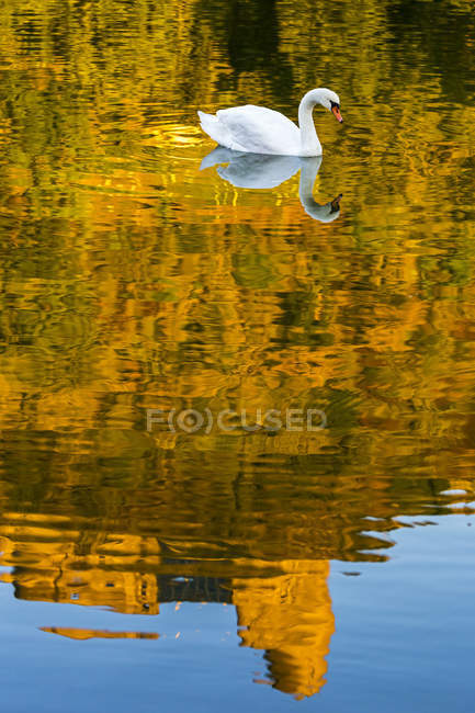 A white swan in a river with a golden reflection of a treed hillside with a castle ruin and blue sky; Bernkastel, Germany — Photo de stock