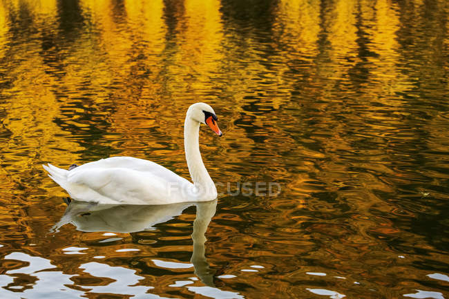 A white swan in a river with a colorful golden reflection — Stock Photo
