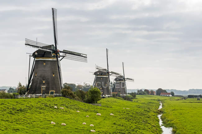 Three old wooden windmills in a row along a grassy field with sheep and small ditch filled with water, near Stompwijk; Netherlands — Stock Photo