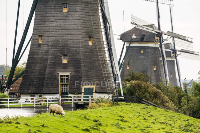 Close-up of the base of three old wooden windmills in a row along a grassy field with sheep grazing on a grassy hillside, near Stompwijk; Netherlands — Stock Photo