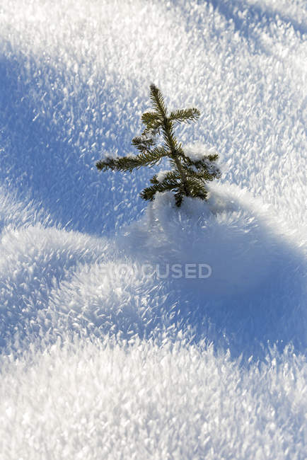Close-up of a small evergreen tree in an unique spike frosty snow cover; Kananaskis Country, Alberta, Canada — Stock Photo