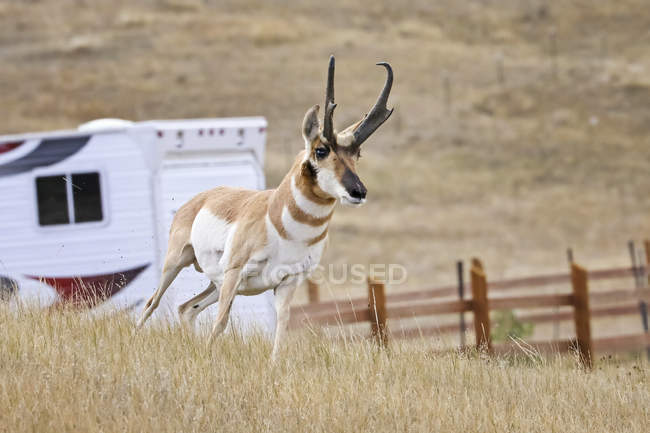 Pronome bonito selvagem em habitat natural na América do Norte — Fotografia de Stock