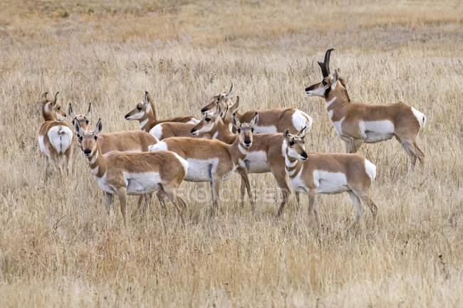 Pronomes lindos selvagens em habitat natural na América do Norte — Fotografia de Stock