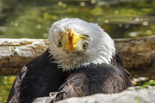 American Bald Eagle in an awkward position — стоковое фото