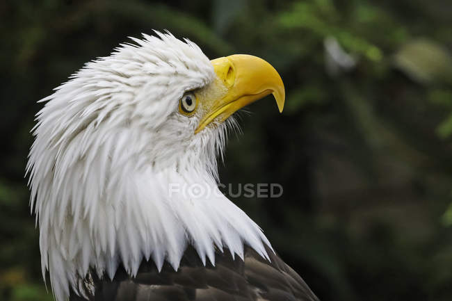 Close-up view of the head of an American Bald Eagle — стоковое фото