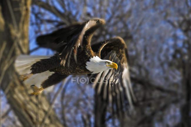 Американский лысый орел взлетет с дерева — стоковое фото