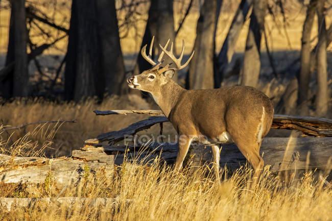Majestuoso ciervo de cola blanca en la naturaleza salvaje de pie i hierba - foto de stock