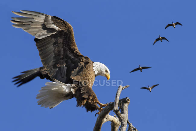 American Bald Eagle landing on a tree branch with a flock of Canada geese flying overhead — стоковое фото