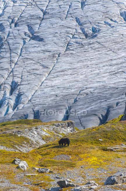 Orso nero su una collina con ghiacciaio Exit nel Kenai Fiords National Park, Alaska centro-meridionale; Alaska, Stati Uniti — Foto stock