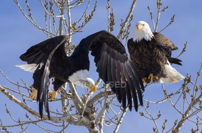Aquile americane arroccato in un albero contro un cielo azzurro — Foto stock