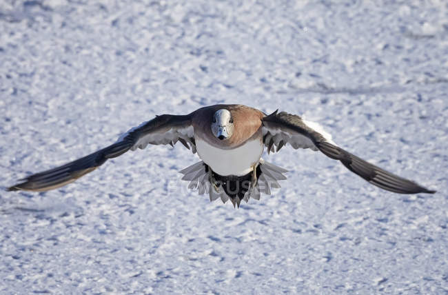 American Widgeon flying over snow, closeup view — Foto stock