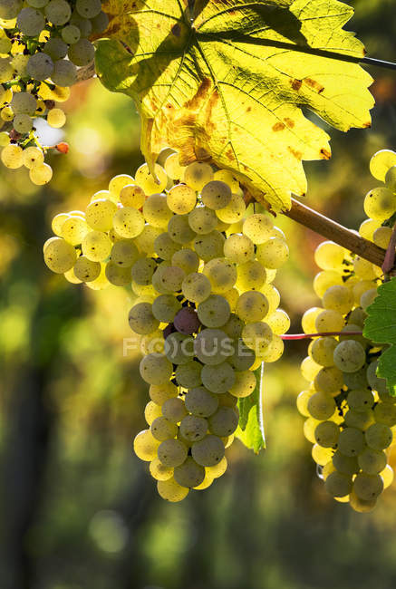 Close-up of clusters of white grapes hanging from vine, Piesport, Germany — Stock Photo