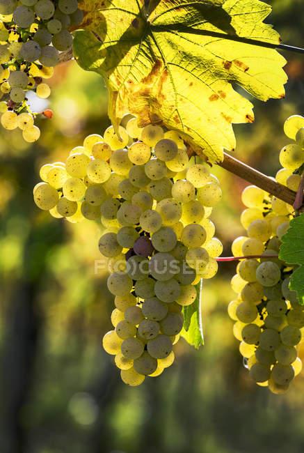 Згортки білого винограду, що звисають з винограду (П