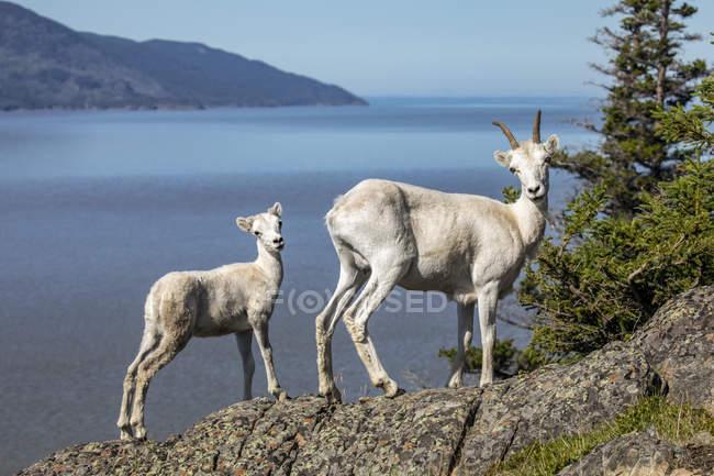 Dall sheep ewe and lamb look at camera from a rocky ledge, South-central Alaska; Alaska, United States of America — Stockfoto