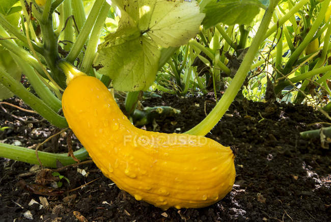 Close-up of a yellow zucchini with water droplets on the plant and dark soil; Calgary, Alberta, Canada — Stock Photo