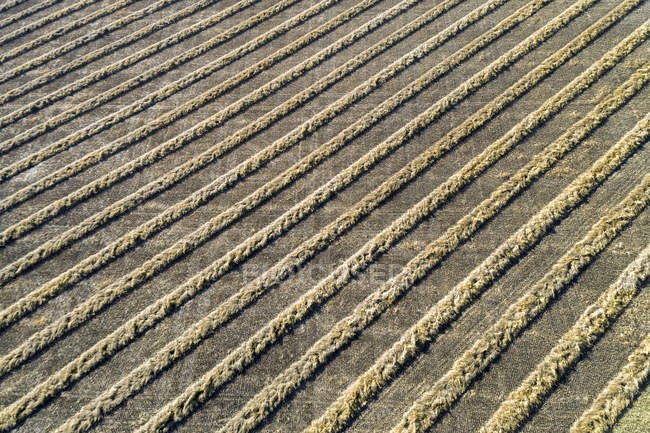 Aerial view of lines of cut canola in a field, West of Beiseker; Alberta, Canada — Stock Photo