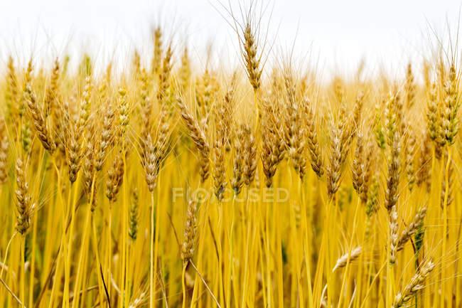 Primer plano de varias cabezas de trigo dorado en un campo, al sur de Calgary; Alberta, Canadá - foto de stock