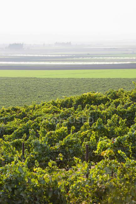 Vinhas (Vitis) em uma encosta com nevoeiro sobre os campos agrícolas à distância, Gonzales, Califórnia, Estados Unidos da América — Fotografia de Stock