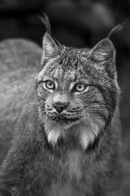 Lynx (Lynx canadensis), Chilkat River; Haines, Alaska, Сполучені Штати Америки — стокове фото