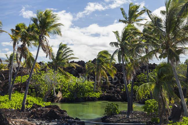 Brackish lagoa e coqueiros, North Kona; Kailua-Kona, Ilha do Havaí, Havaí, Estados Unidos da América — Fotografia de Stock