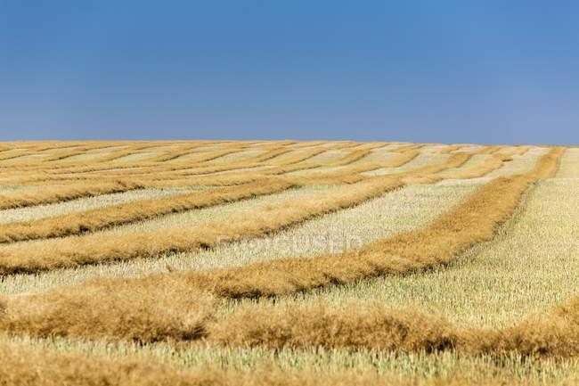 Colza matura dorata tagliata in un campo ondulato con linee di raccolta, stoppie e cielo blu, Beiseker, Alberta, Canada — Foto stock