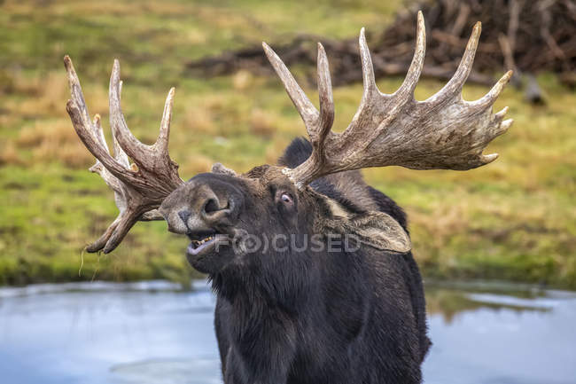 Closeup view of big bull moose at wild life - foto de stock