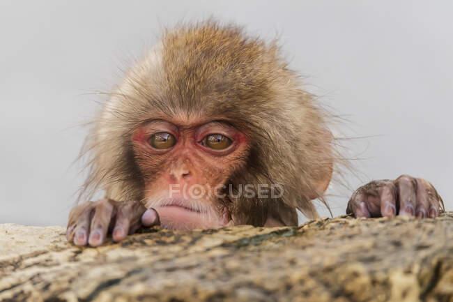 Снежная обезьяна (Macaca fuscata), также известная как японский макак, всматривающийся в скалу; Нагано, Япония — стоковое фото