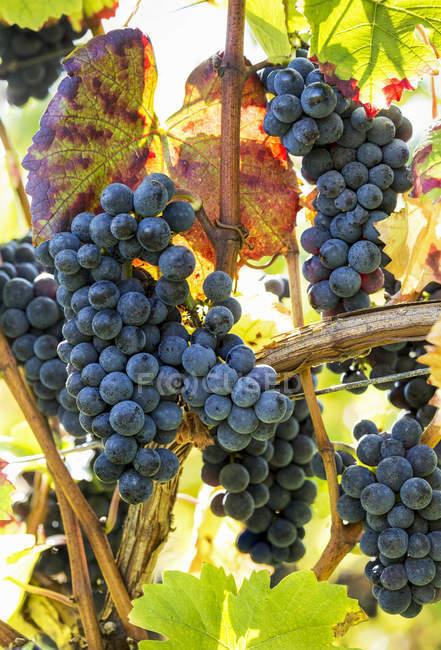 Nahaufnahme mehrerer Trauben, die von Weinreben mit grünen Blättern hängen — Stockfoto