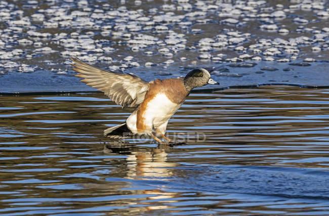 American widgeon bird landing on water — стокове фото