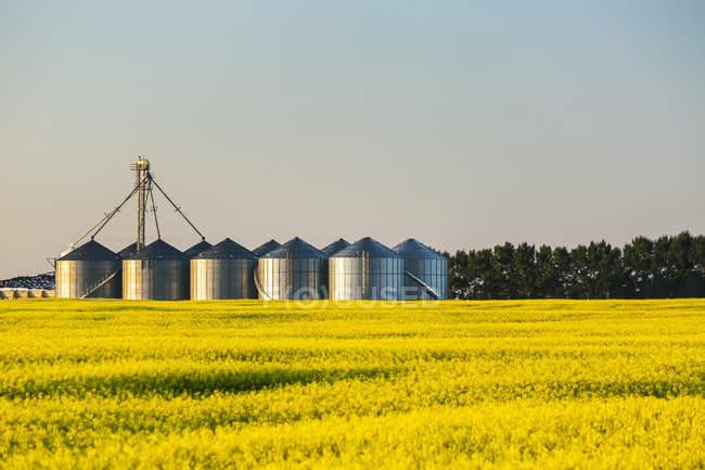 Campo de canola florido com grandes caixas de grãos de metal em uma fileira refletindo o brilho quente do nascer do sol limitado por árvores, a leste de Calgary; Alberta, Canadá — Fotografia de Stock