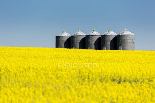 Великі металеві зерна в ряд у квітучому полі каноли з синім небом; Бейзекер, Альберта, Канада. — стокове фото