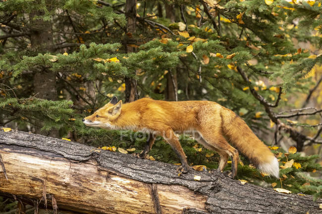 Niedlicher Rotfuchs in wilder Natur — Stockfoto