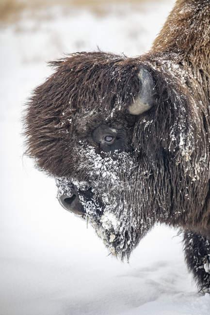 Бык-бизон (бизон-бизон athabascae) в снегу, пленник Центра охраны дикой природы Аляски; Портедж, Аляска, США — стоковое фото