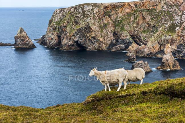 Schafe (ovis aries) stehen auf einem Grasrücken und blicken hinüber zur Küste; arranmore island, county donegal, irland — Stockfoto