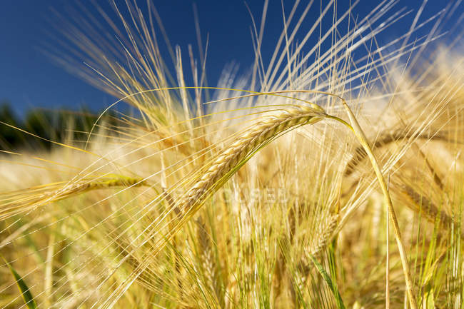Close-up of several golden barley heads in a field with deep blue sky, South of Calgary, Alberta, Canada — Stock Photo