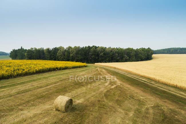 Luftaufnahme von Sonnenblumenfeld, goldenem Getreidefeld und Heuballen in einem von Bäumen gesäumten Schnittfeld; erickson, manitoba, canada — Stockfoto