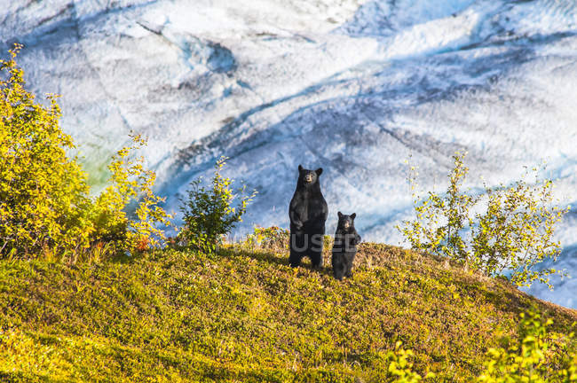 Schwarzbär und Jungtier stehen in der Nähe des harding icefield trail am exit glacier im kenai fjords nationalpark, alaska, usa — Stockfoto